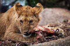 cathyb-20160428-IMG_8953.jpg (madelinefluffbum) Tags: animal zoo eating oz australia melbourne victoria meat lions vic downunder lunching werribeezoo plainkeywords