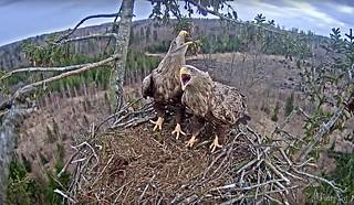 Eagles struggling for nest