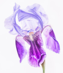 Macro Monday - Starts with the letter P (peggypryor68) Tags: iris flower macro window backlight garden purple dancing naturallight april fillflash tissuepaper 2016 wellloved potdcy365 4282016