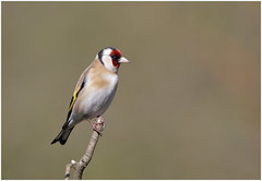 Goldfinch (jenny*jones) Tags: bird canon spring goldfinch finch naturalworld westyorkshire naturephotography cardueliscarduelis europeangoldfinch birdphotography gtbritain canon7dmarkii april2016