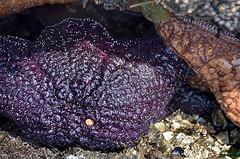 042616_ObPass_024 (Orcas Art) Tags: starfish anemone orcasisland tidepool obstructionpass rockpool ochrestar elegantanemone