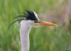 Grey Heron : Ardea cinerea (Jerry Hawker) Tags: bird somerset rspb somersetlevels hamwall rspbhamwall