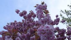 Cherrytree (markfromprague) Tags: pink cherry spring purple cherrytree