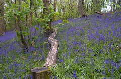 Bluebell Woods (Zoe K Williams) Tags: wood uk flowers blue trees plant flower green nature bluebells wales forest woodland countryside spring outdoor hyacinthoides