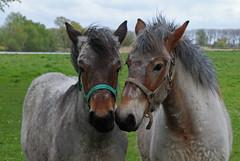 twee jonge zeeuwse trekpaarden (Omroep Zeeland) Tags: jan jonge weel zeeuwse trekpaarden berghout zwaakse