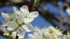 Plum Blossom (mcginley2012) Tags: whiteflower blossom plumblossom