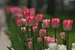 IMG_7762 (Five eyes) Tags: flowers flower holland color nature beauty garden spring dof tulips beds michigan fresh neighborhood beginning tuliptime promise lanes 2016
