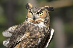 Great Horned Owl (gypsyfeathers) Tags: nj raptor owl captive greathornedowl medford cedarrunwildliferefuge