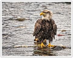 American Bald Eagle (Hawg Wild Photography) Tags: bird nature birds nikon eagle wildlife bald american raptor prey raptors of terrygreen