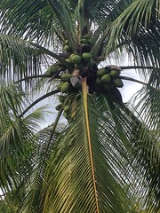 "coconuts ready to harvest_3 <a style=""margin-left:10px; font-size:0.8em;"" href=""http://www.flickr.com/photos/47172958@N02/24078287190/"" target=""_blank"">@flickr</a>"