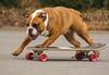 Jump On Board (Yer Photo Xpression) Tags: dog bulldog skateboard brutus oldenglishbulldog canonef35350mmf3556lusm canoneos40d ronmayhew