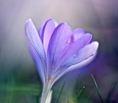 purple dreams....... (barfi*) Tags: flowers macro garden spring
