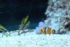 Orangeringelfisch im Tierpark Hellabrunn (Ulli J.) Tags: germany münchen bayern deutschland bavaria zoo tyskland allemagne duitsland tierparkhellabrunn beieren orangeringelfisch bavière falscherclownfisch ocellarisclownfish driebandanemoonvis poissonclownàtroisbandes falseperculaclownfish commonclownfish orangeringelanemonenfisch westlicherclownfisch poissonclownocellé