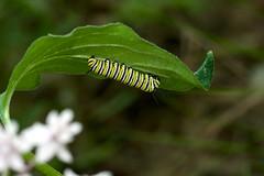 Danaus plexippus (Eric Hunt.) Tags: green leaf caterpillar underside apocynaceae danaus asclepias danausplexippus fourleavedmilkweed asclepiasquadrifolia