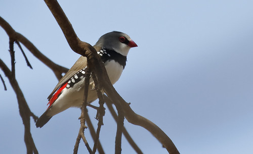 Diamond Firetail_15-11-19_Stagonopleura guttata