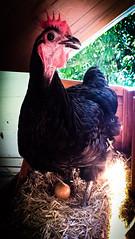 Wednesday the hen on the nest (Moar Noir!) Tags: hot chicken nest egg hen nesting laying australorp blackhen henlife