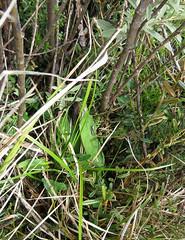 Orange hawkweed (Environment + Heritage NSW) Tags: weed volunteers volunteer kosciuszko kosciuszkonationalpark orangehawkweed noxiousweed volunteerprogram weedcontrol orangehawkweedcontrolprogram weedprogram