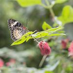 """Versierde vlinder <a style=""""margin-left:10px; font-size:0.8em;"""" href=""""http://www.flickr.com/photos/62259267@N04/24451251659/"""" target=""""_blank"""">@flickr</a>"""