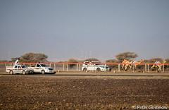 Omani camel racing (Peter Gostelow) Tags: racing oman camels