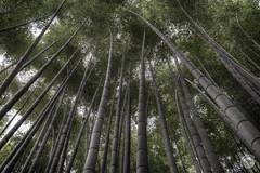 Kamakura - Bamboo (The-JMG) Tags: japan kamakura bamboo kawanaga
