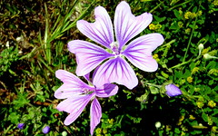 Common mallow flower (Ferit Gure) Tags: mallow