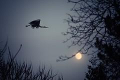 Fly to the Moon (alexander_pruessing) Tags: winter moon tree bird heron night canon garden mond nacht natur garten baum dunkel vogel reiher darm