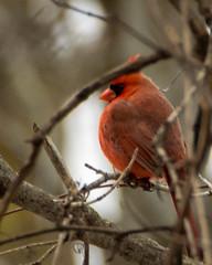 Northern Cardinal Closeup (ralph miner) Tags: cardinal northerncardinal hawthornehill