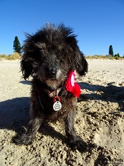 DSC03508-2 (ScootaCoota Photography) Tags: birthday dog beach animal mutt