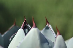 Ritualistic (YoshGuenther) Tags: nature dof outdoor depthoffield agave centuryplant agaveamericana