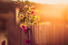 Sun's warmth (thethomsn) Tags: pink light italy plants sun blur flower colour nature floral leaves backlight canon fence outdoors 50mm gold golden intense blurry focus dof bright blossom warmth depthoffield flare dreamy primelens thethomsn