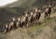 California Bighorn Sheep (lauren_larsenn) Tags: california wild lauren oregon arlington river mammal photography sheep pacific northwest wildlife group columbia bachelor gorge bighorn larsen columbiarivergorge californiabighornsheep