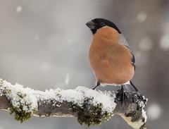 Eurasian bullfinch (robert.vierthaler) Tags: winter snow bird nature birds canon eos wildlife sigma finch bullfinch 70d 150500mm