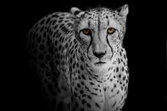 Need for Speed (Just BS) Tags: blackandwhite nature animal blackbackground cat photoshop canon tampa mammal zoo eyes eyecontact florida wildlife spots bigcat cheetah predator buschgardens carnivore aza zoosofthesouth itsazoooutthere