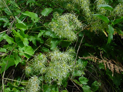 Clematis vitalba (jmpr2) Tags: planta plantas flor clematis plantes vitalba