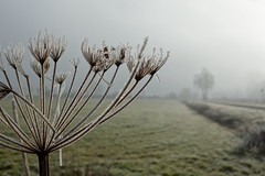 February (brittajohansson) Tags: morning winter mist plant cold flower holland tree netherlands field landscape grey frost outdoor polder