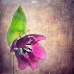 A simple tulip (Ans van de Sluis) Tags: flower texture nature floral flora bokeh tulip bokehlicious ansvandesluis