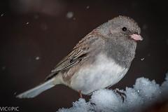 Dark Eyed Junco (Vic Zigmont) Tags: songbird darkeyedjunco birdinsnow