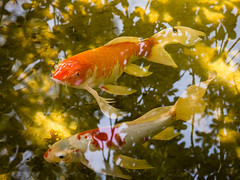 koi and reflections (apmckinlay) Tags: fish nature water animals reflections koi