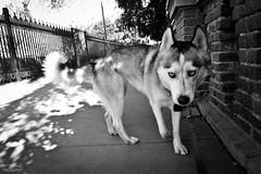 _DSC00751 (classic77) Tags: camera dog pet snow husky cam go canine pro siberian sled doggie gopro