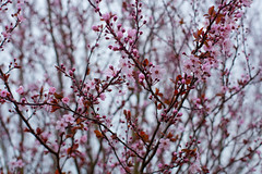 Plum Blossoms (camknows) Tags: plumtree plumblossoms flowers