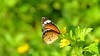 Plain Tiger (pallab seth) Tags: autumn india nature forest butterfly asia dof outdoor depthoffield lepidoptera bengal danae basking nymphalidae plaintiger danauschrysippus tropicalbutterfly africanmonarch brushfootedbutterfly garchumuk nikond3100 পশ্চিমবঙ্গেরপ্রজাপতি তামট tamronsp70300mmf456dildlens