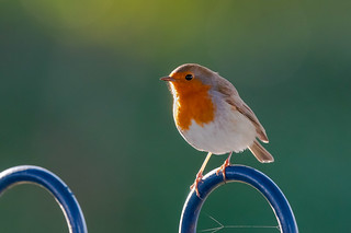 Robin in the park