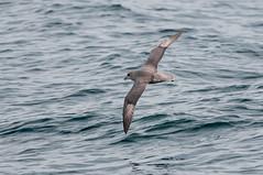 Dark Fulmar (martytdx) Tags: birds lifelist nj fulmar february atlanticocean pelagic petrels darkmorph northernfulmar pelagictrip pelagics procellariidae fulmarisglacialis fulmaris paulagic