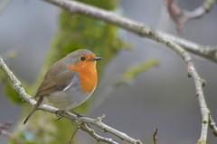 Rougegorge familier - Erithacus rubecula (Vincent Prdm) Tags: bird erithacusrubecula erithacus oiseau rougegorge familier rubecula rougegorgefamilier passeriforme