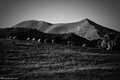 Sheep grazing (daniele.annessi74) Tags: bw panorama mountain landscape sheep montagna grazing paesaggio castelluccio pascolo gregge d300s