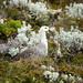 Upland Goose (Chloephaga picta)