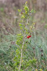 Christmas Berry (Lycium carolinianum) (Finatic 's iNaturalist Stream) Tags: plants christmasberry