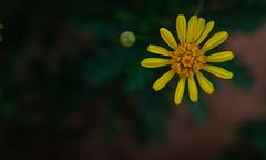 One Man Standing (Eshwar...) Tags: flower macro nature garden diopter reversering sonya6000