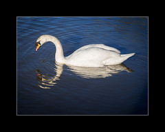 Reflection 3 (tkimages2011) Tags: park blue reflection water swan sankey valley sthelens merseyside hifiwigwam
