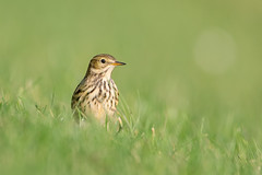 Meadow Pipit 2 (Andrew Haynes Wildlife Images) Tags: